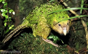 Hello there, kakapo!
